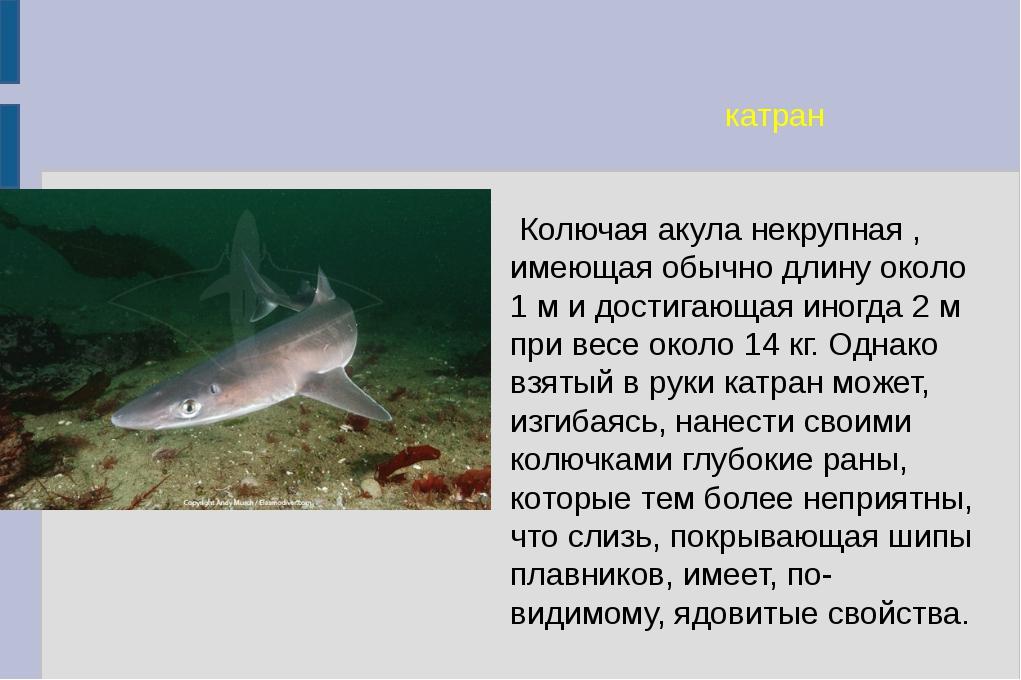 катран Колючая акула некрупная , имеющая обычно длину около 1 м и достигающая...