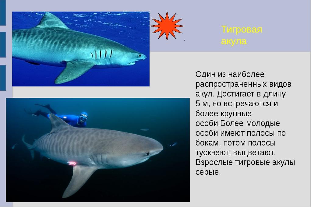 Тигровая акула Один из наиболее распространённых видов акул. Достигает в длин...