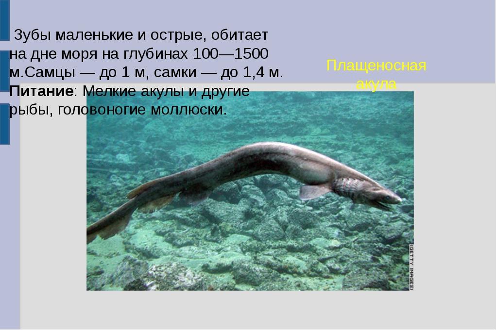 Плащеносная акула Зубы маленькие и острые, обитает на дне моря на глубинах 10...