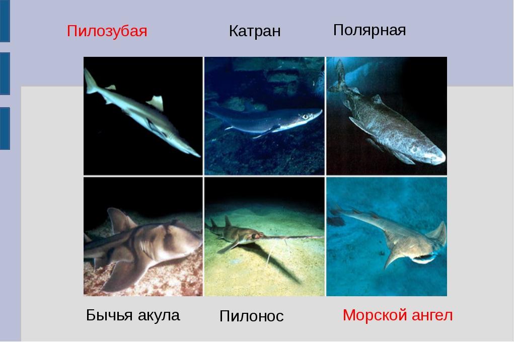 Пилозубая Катран Полярная Бычья акула Пилонос Морской ангел