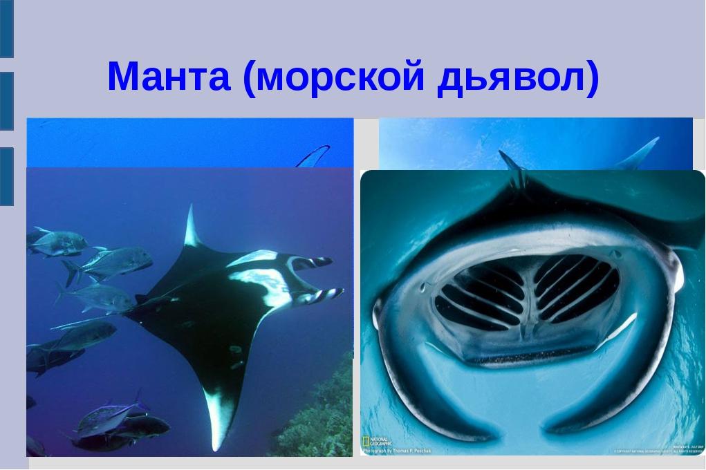 Манта (морской дьявол)