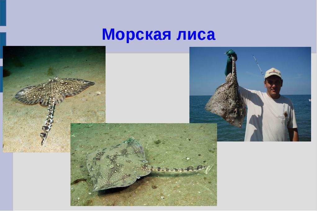 Морская лиса