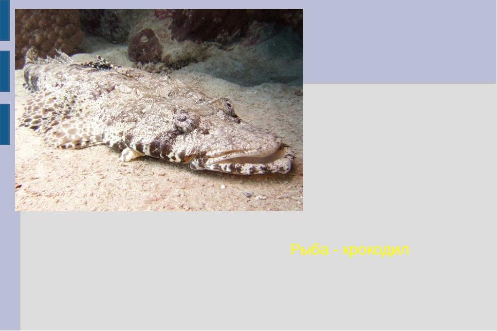 Рыба - крокодил