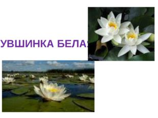 КУВШИНКА БЕЛАЯ