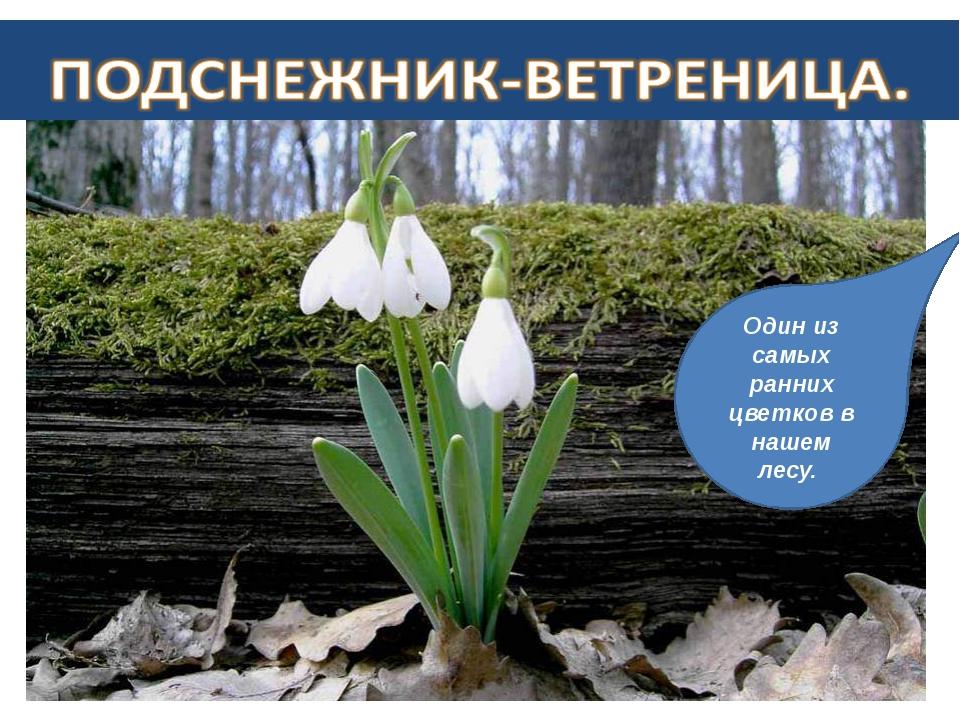 Один из самых ранних цветков в нашем лесу.