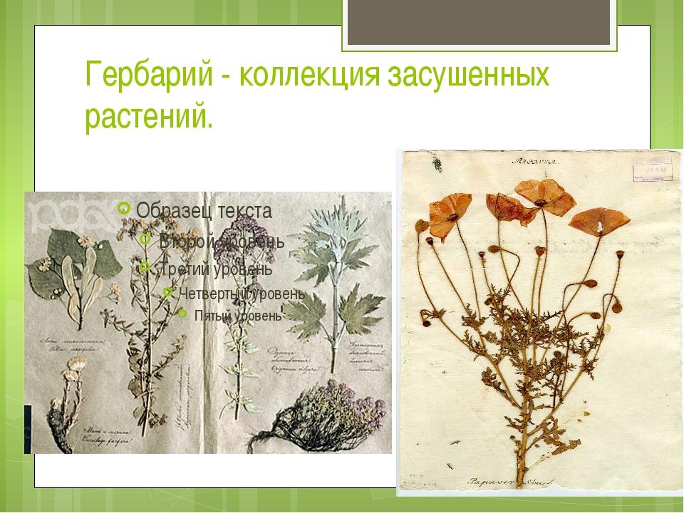 Гербарий - коллекция засушенных растений.