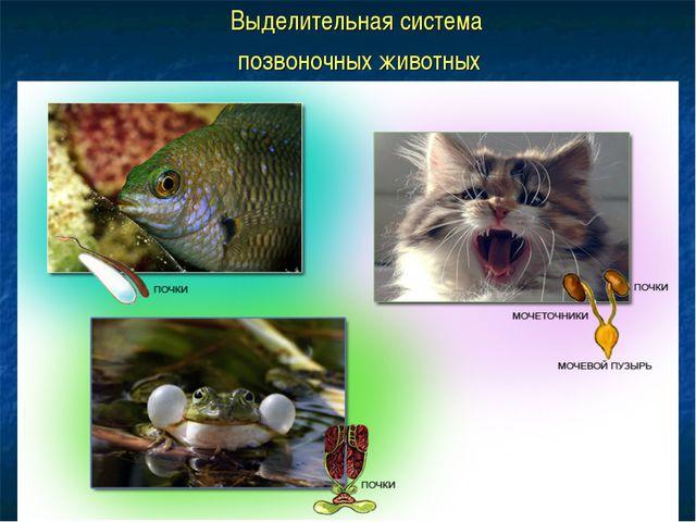 Выделительная система позвоночных животных