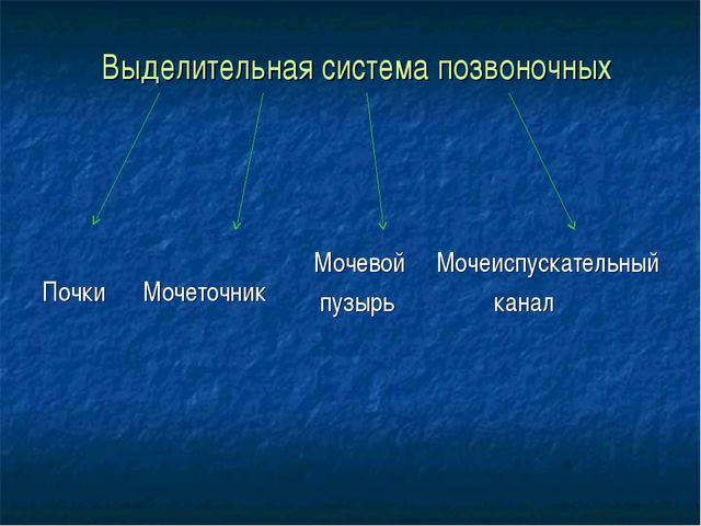 Выделительная система позвоночных Почки Мочеточник Мочевой Мочеиспускательны...