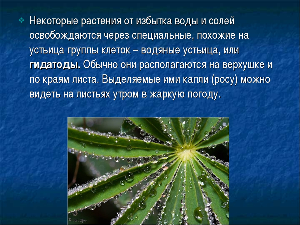 Некоторые растения от избытка воды и солей освобождаются через специальные, п...