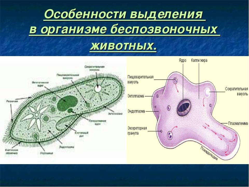 Особенности выделения в организме беспозвоночных животных.