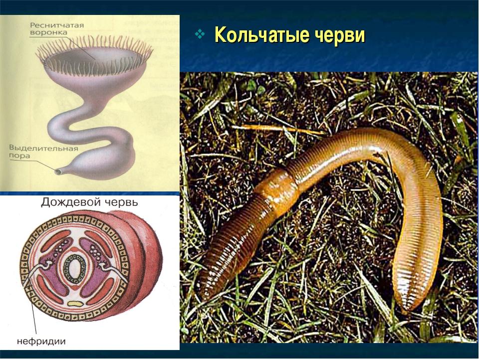 Кольчатые черви