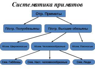 Систематика приматов Отр. Приматы П/отр. Полуобезьяны П/отр. Высшие обезьяны