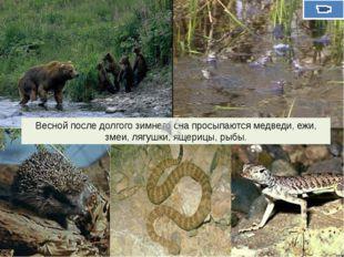Весной после долгого зимнего сна просыпаются медведи, ежи, змеи, лягушки, ящ