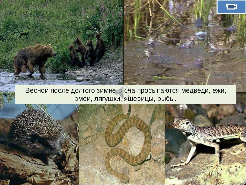 Весной после долгого зимнего сна просыпаются медведи, ежи, змеи, лягушки, ящ...