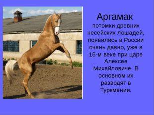 Аргамак потомки древних несейских лошадей, появились в России очень давно, уж