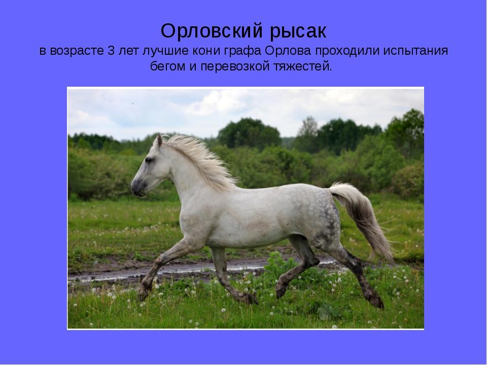 Орловский рысак в возрасте 3 лет лучшие кони графа Орлова проходили испытания...