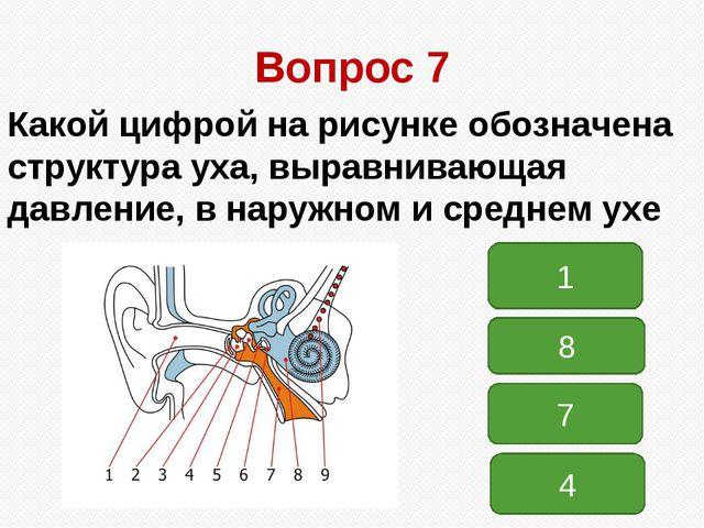Вопрос 7 Какой цифрой на рисунке обозначена структура уха, выравнивающая давл...