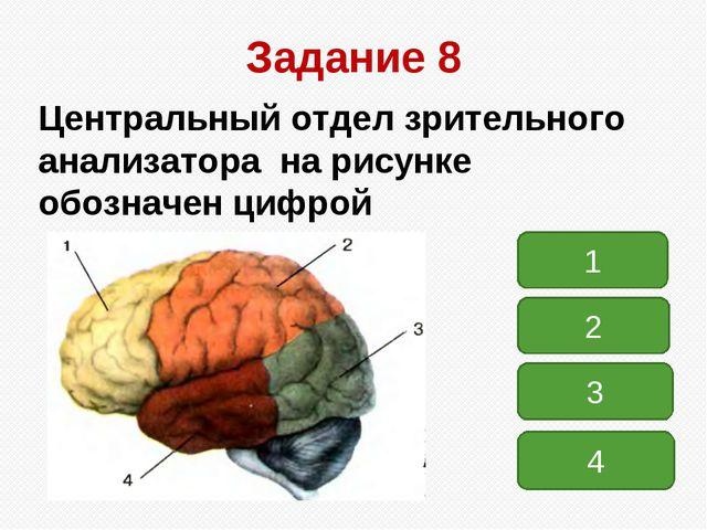 Задание 8 Центральный отдел зрительного анализатора на рисунке обозначен цифр...
