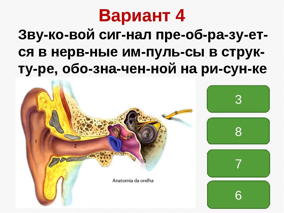 Вариант 4 Звуковой сигнал преобразуется в нервные импульсы в струк...