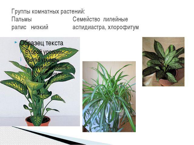 Группы комнатных растений: Пальмы Семейство лилейные рапис низкий аспидиастра...