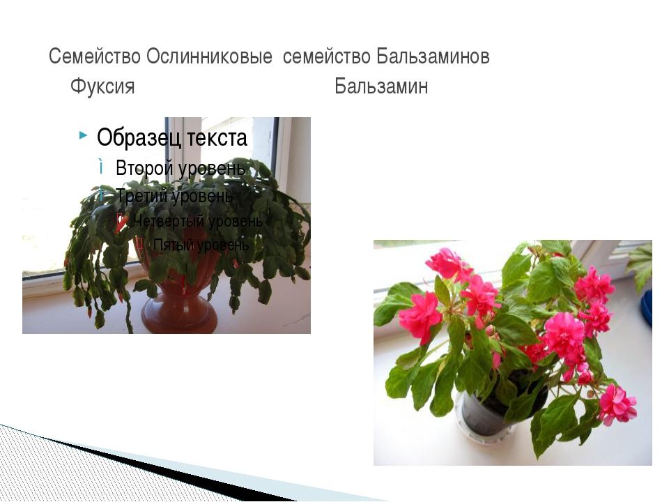 Семейство Ослинниковые семейство Бальзаминов Фуксия Бальзамин