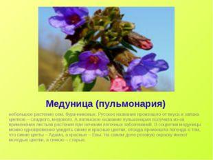 Медуница (пульмонария) небольшое растение сем. бурачниковых. Русское название