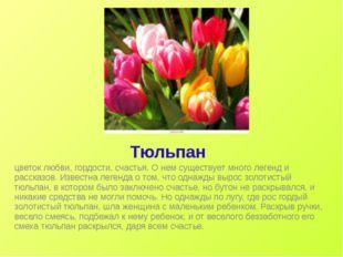Тюльпан цветок любви, гордости, счастья. О нем существует много легенд и расс