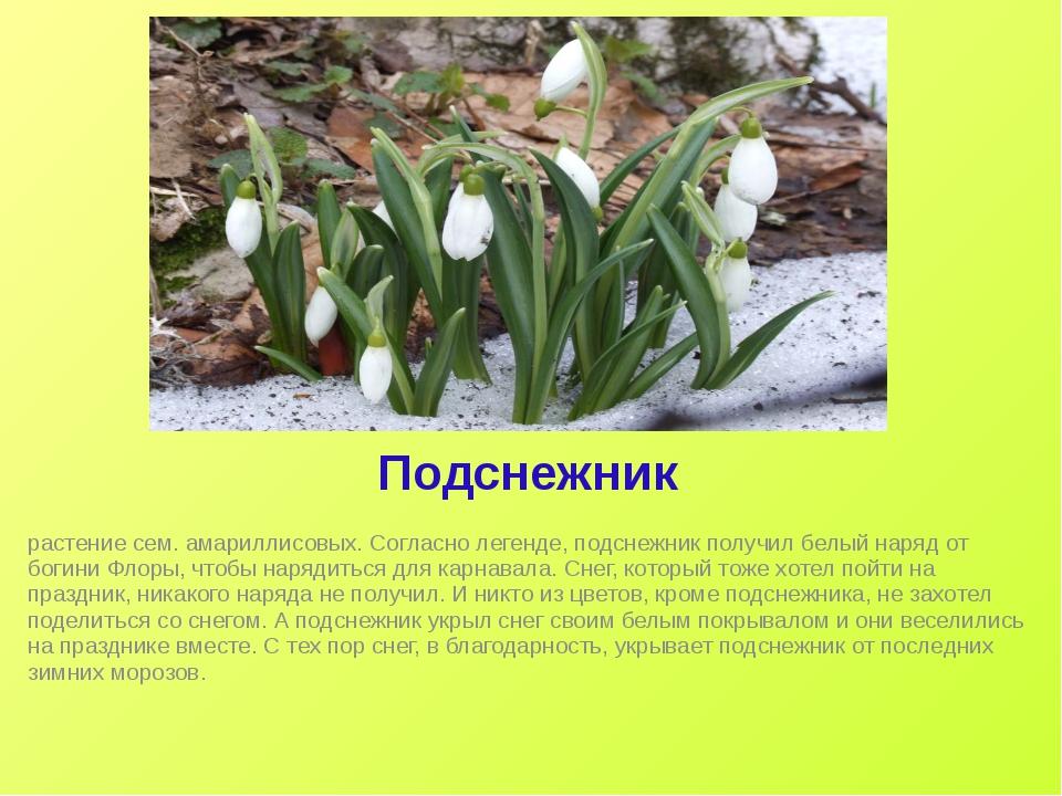 Подснежник растение сем. амариллисовых. Согласно легенде, подснежник получил...