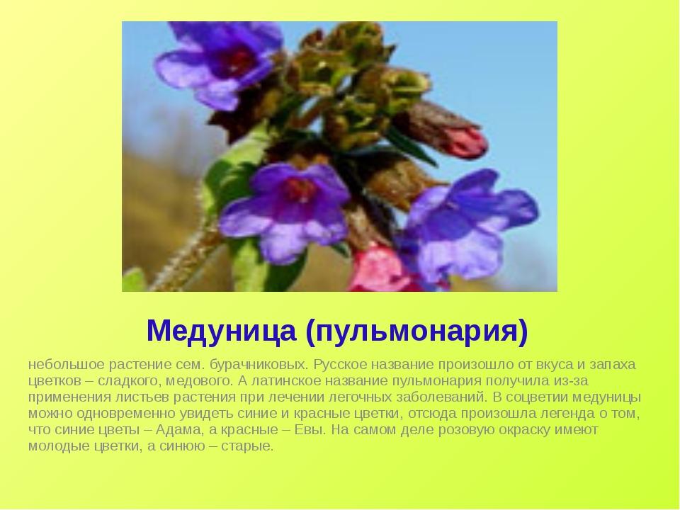 Медуница (пульмонария) небольшое растение сем. бурачниковых. Русское название...
