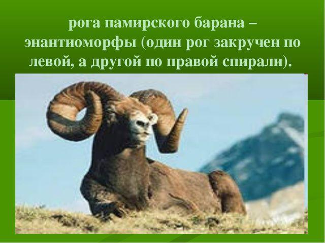 рога памирского барана – энантиоморфы (один рог закручен по левой, а другой п...