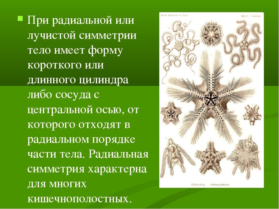 При радиальной или лучистой симметрии тело имеет форму короткого или длинного...