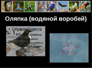 Оляпка (водяной воробей) ProPowerPoint.Ru