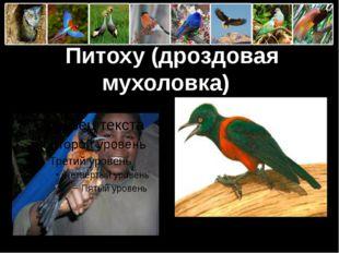 Питоху (дроздовая мухоловка) ProPowerPoint.Ru