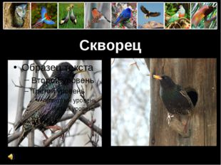 Скворец ProPowerPoint.Ru