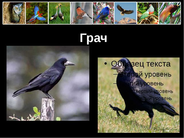 Грач ProPowerPoint.Ru