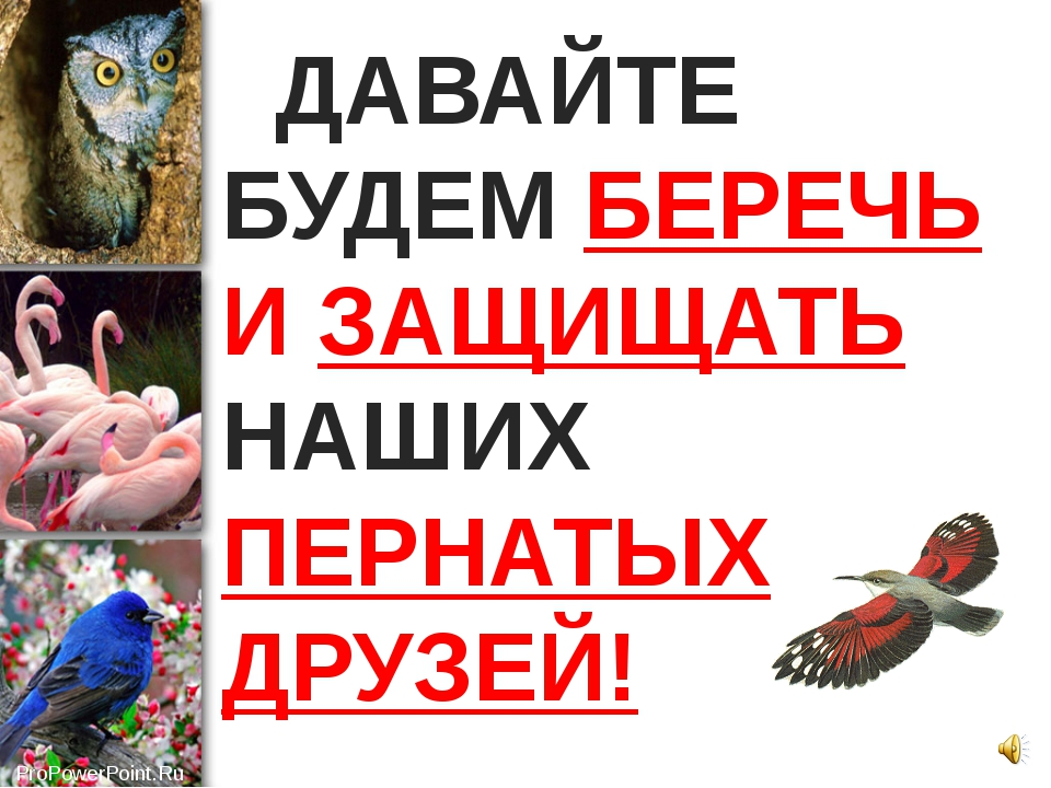 ДАВАЙТЕ БУДЕМ БЕРЕЧЬ И ЗАЩИЩАТЬ НАШИХ ПЕРНАТЫХ ДРУЗЕЙ! ProPowerPoint.Ru