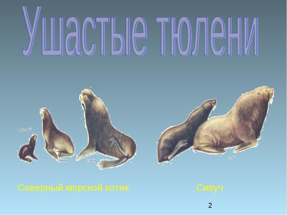 Северный морской котик Сивуч