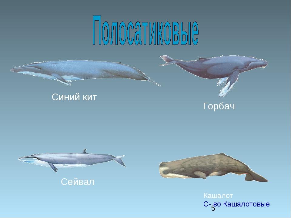 Синий кит Горбач Сейвал Кашалот С- во Кашалотовые