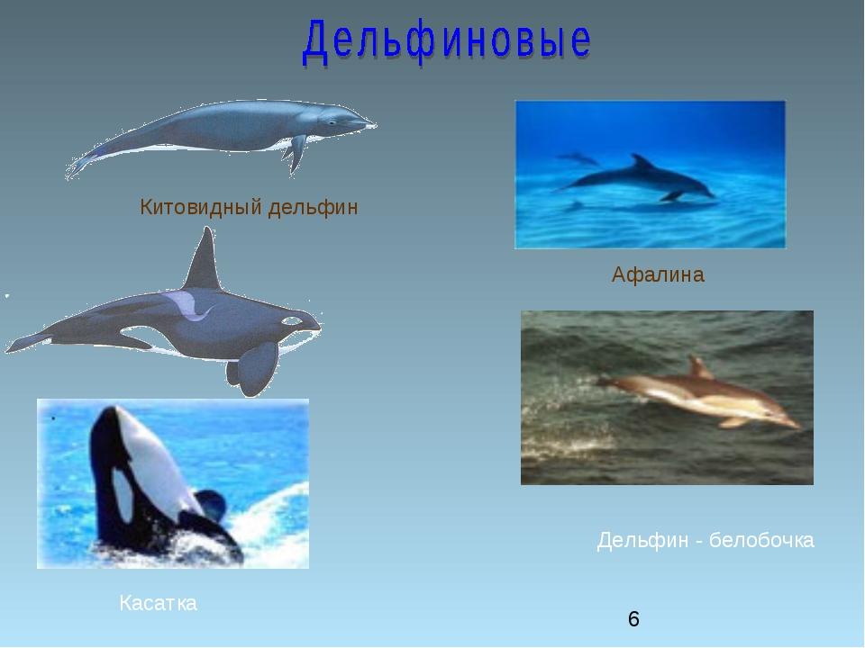 Китовидный дельфин Касатка Афалина Дельфин - белобочка