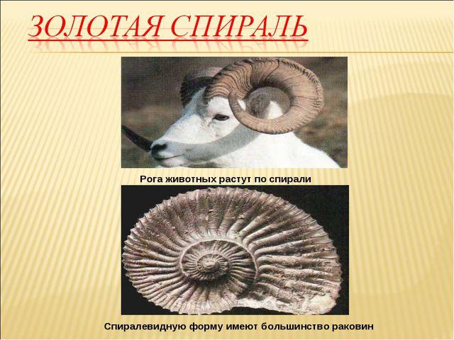 Рога животных растут по спирали Спиралевидную форму имеют большинство раковин