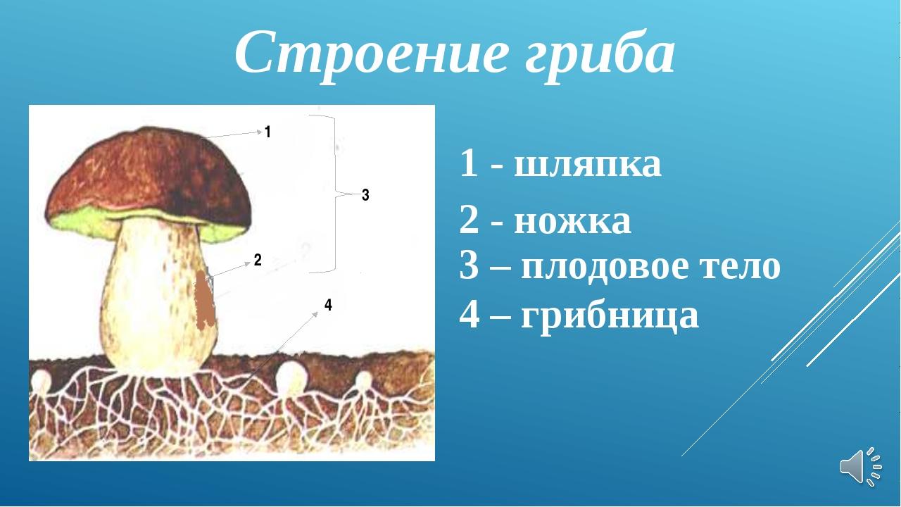 Строение гриба 1 - шляпка 2 - ножка 3 – плодовое тело 4 – грибница 1 2 3 4