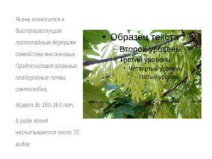 Ясень относится к быстрорастущим листопадным деревьям семейства маслиновых. П