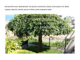 Как выглядит ясень обыкновенный: это высокое листопадное дерево, достигающее