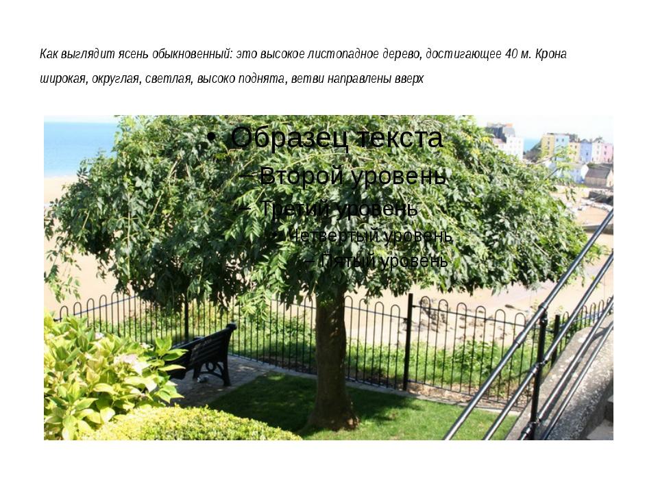 Как выглядит ясень обыкновенный: это высокое листопадное дерево, достигающее...