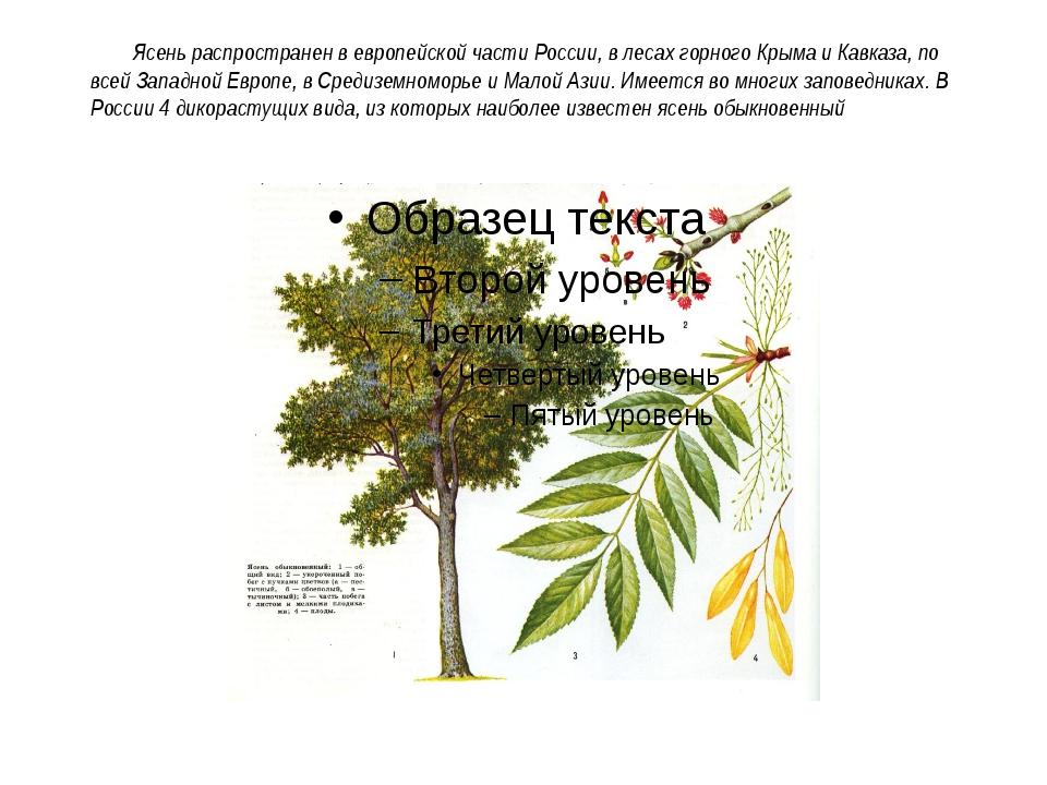 Ясень распространен в европейской части России, в лесах горного Крыма и Кавк...