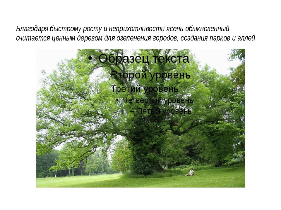 Благодаря быстрому росту и неприхотливости ясень обыкновенный считается ценн...