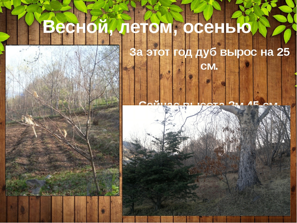 Весной, летом, осенью За этот год дуб вырос на 25 см. Сейчас высота 2м 45 см