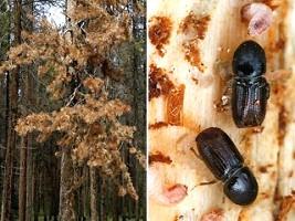 http://www.biolokus.ru/images/koroed.jpg