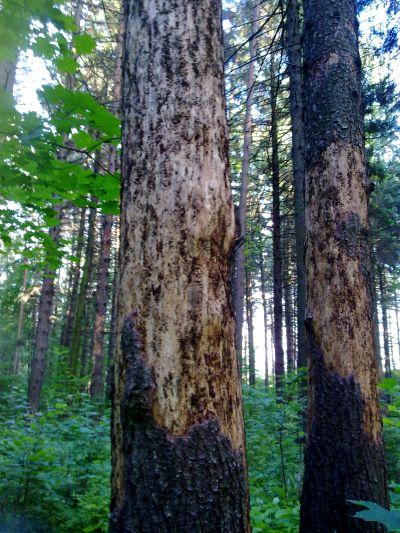 http://www.forestdoctor.ru/FOTO/koroed1.jpg