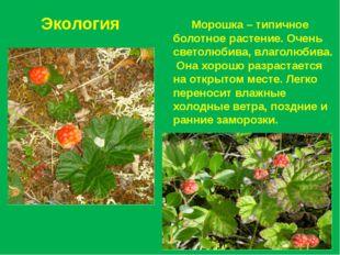 Экология Морошка – типичное болотное растение. Очень светолюбива, влаголюбива